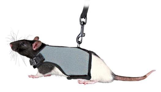 accessoire pour rat