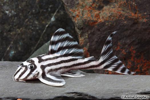 hypancistrus zebra
