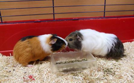 litière pour cochon d inde