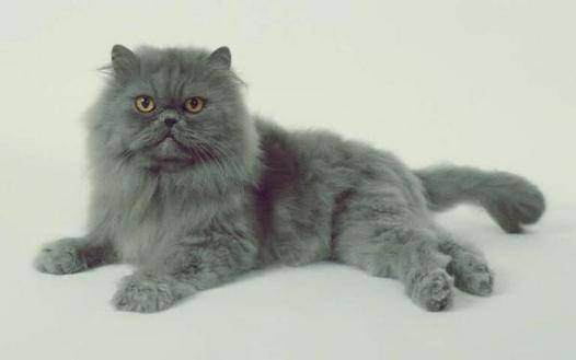 persan gris