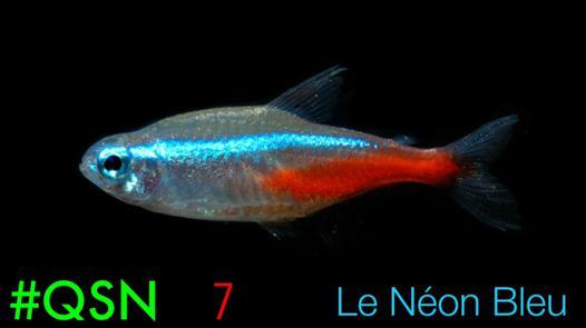 poisson neon bleu