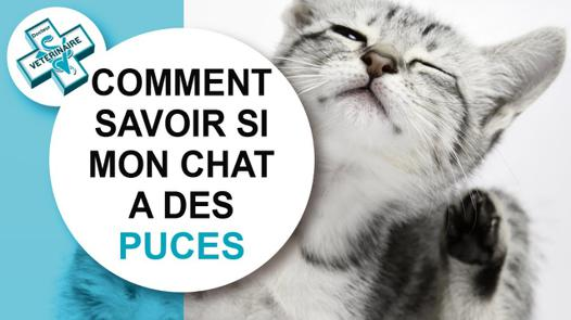 puce chat