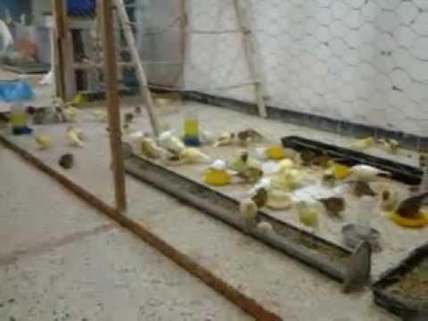 voliere canari